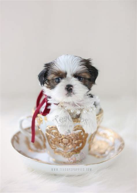 white teacup shih tzu imperial shih tzu puppies for sale by teacups puppies