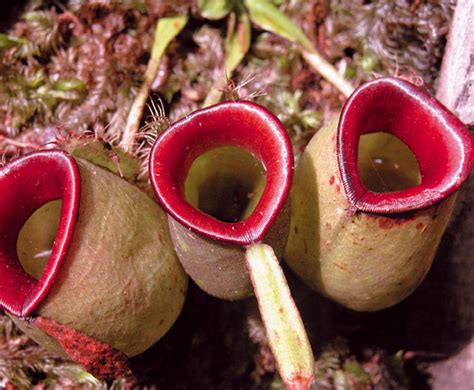 Kantong Semar nepenthes indonesia