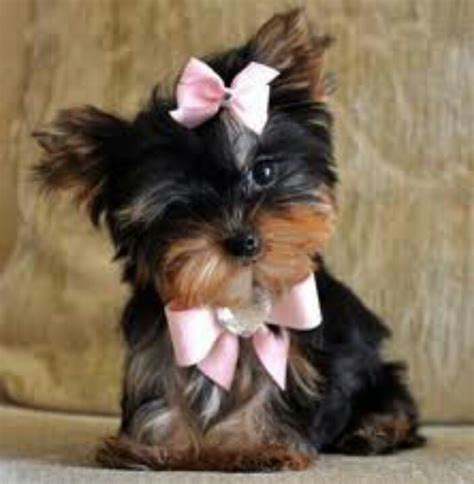 teacup yorkie maltese mix puppies for sale micro teacup morkie maltese yorkie kendra s want yorkie birthdays