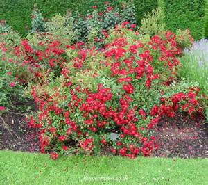 ground cover rosa suffolk rose pictures