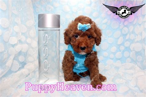 teacup pomeranian puppies for sale in bakersfield ca puppy heaven teacup puppies for sale closed in agoura ca 91301