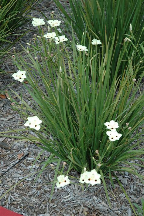 bi color iris dietes bicolor