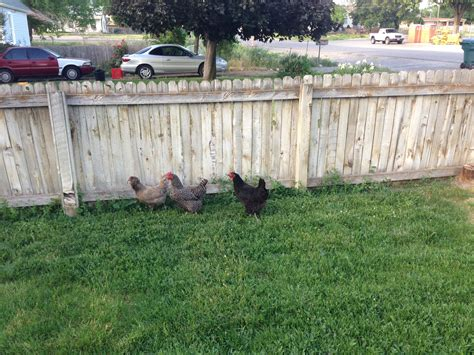 Keeping Free Range Chickens In Your Backyard Keeping Free Range Chickens In Your Backyard 100 Chickens In Backyard Housing Chickens In