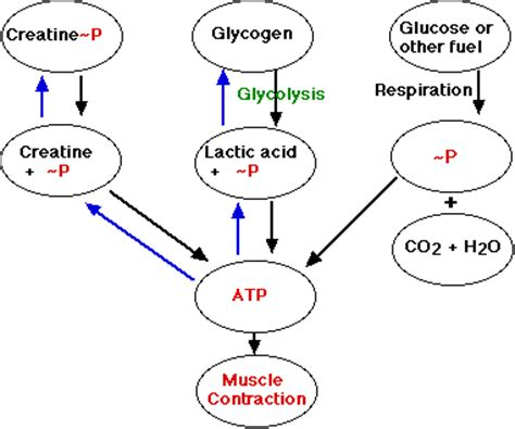 creatine phosphate definition cyhsanatomy1 types of