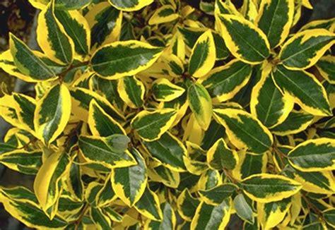 elaeagnus x ebbingei gilt edge this evergreen shrub is