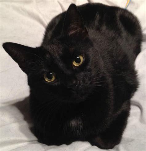 Black Cats: Most Common, Least Desired   Fundamentally Feline