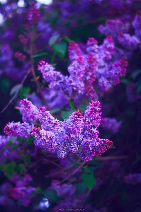 purple lilac purple lilac lilacs and purple on pinterest