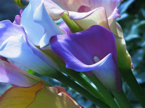 when do you plant calla lilies garden guides