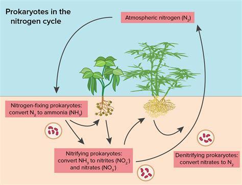 what process must happen to gaseous nitrogen before plants