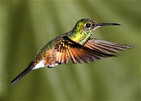 which is the only bird which can fly and hover backwards