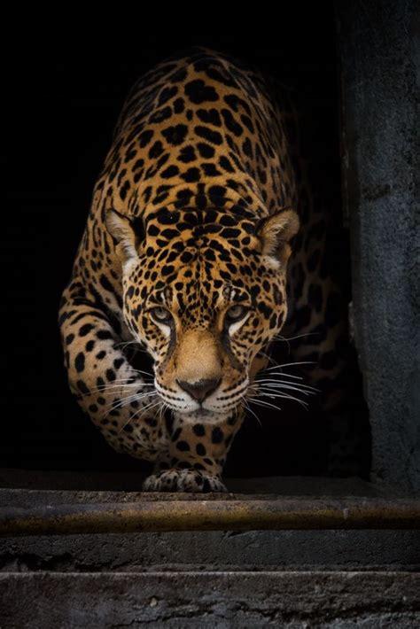 imagenes tatuajes jaguar 17 mejores ideas sobre tatuaje de la pantera negra en