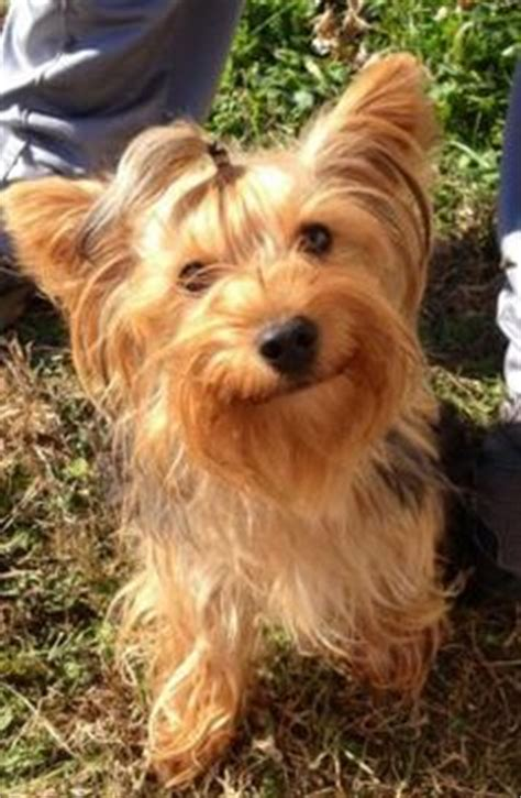 yorkies for sale ebay 1000 images about hair cuts for rogue on yorkie yorkies and