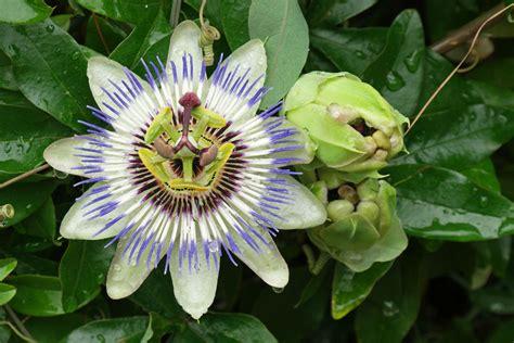 passiflora fiore della passione passiflora caerulea