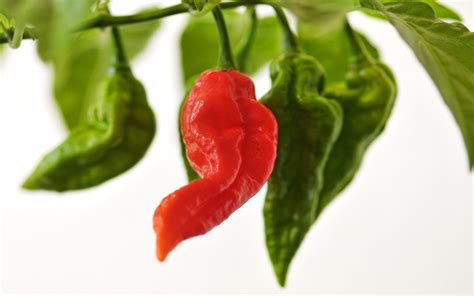 Wallpaper Of Green Chillies | green chili peppers wallpaper 1920x1200 55160