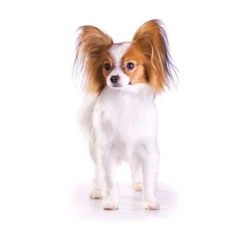 cani di razza piccola per appartamento cani da appartemento quale razza scegliere