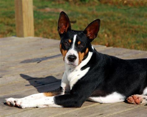 Sale Decker Dekker Fox Mini Size seegmiller decker rat terriers rat terrier breeder