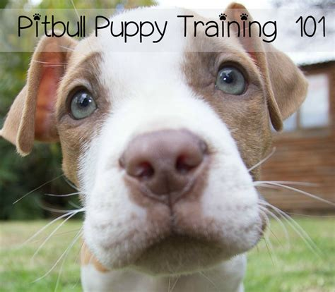 how to your pitbull puppy and puppy tips on how to a puppy html autos weblog