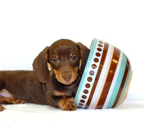 teacup dachshund puppies tiniest tea cup dachshund puppy teacup our tiny chocolate mini dachshund