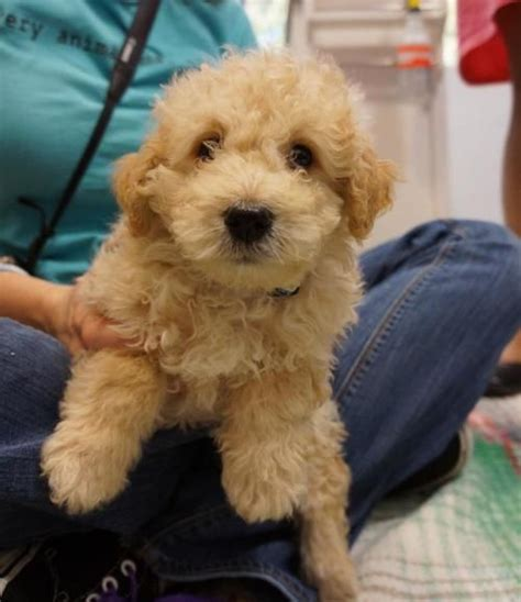 local puppy breeders find dogs for adoption search local rescue and shelters malti poo houston