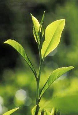 khasiat  manfaat teh