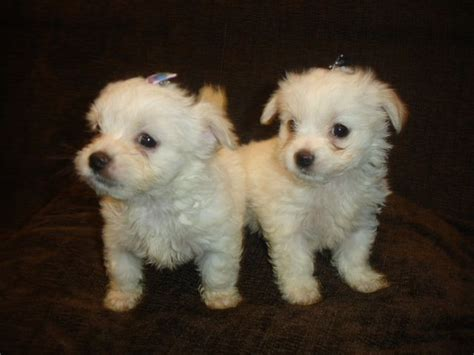 malchi puppies for sale malchi chihuahua maltese mix info temperament puppies