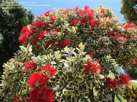 plantfiles pictures variegated new zealand christmas tree