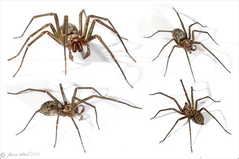 Do Spiders Shed Skin by House Spider Web
