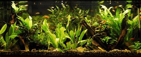 lighting for 55 gallon planted tank goldfishgold s planted tanks photo id 23976