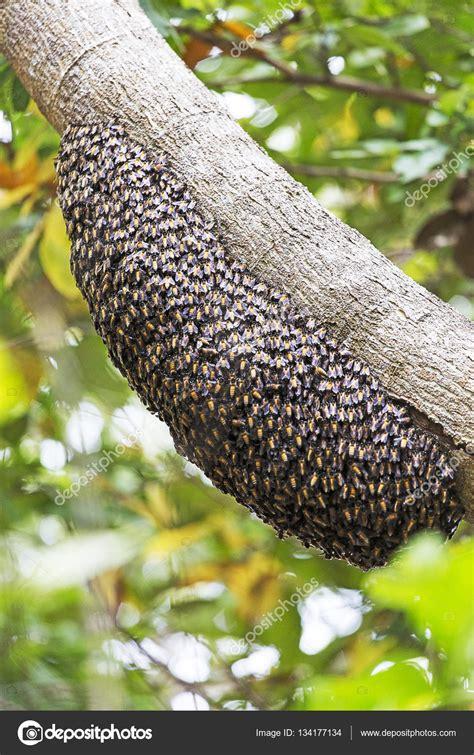 immagini di sull albero alveare di api selvatiche sull albero foto stock