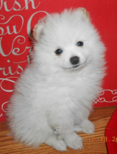 puppies okc pomeranian puppies for sale with best picture collections