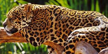 How Many Jaguars Are Left In The World Today Jaguar Wwf