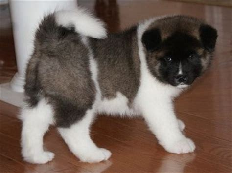 akita puppies for adoption akita puppies for sale for sale adoption from wolverhton west midlands
