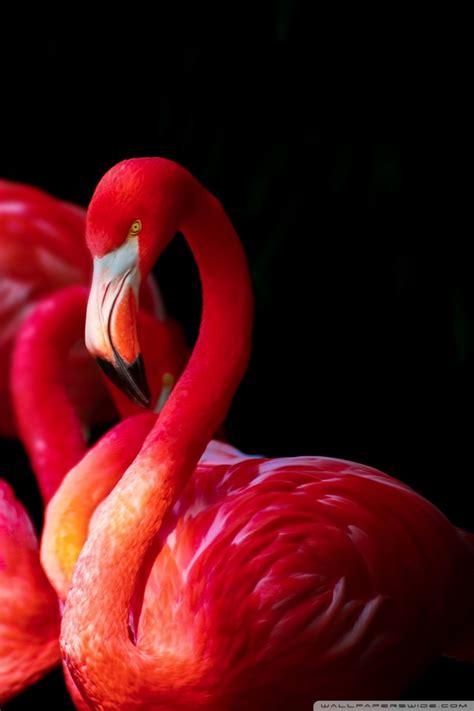 flamingo mobile wallpaper beautiful flamingos 4k hd desktop wallpaper for 4k ultra