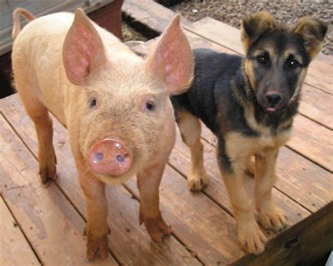 puppy and piglet the new on a homestead homesteading