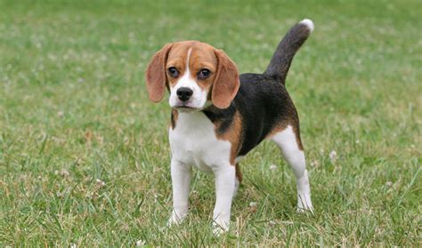 beagle breed pocket beagle info temperament puppies pictures