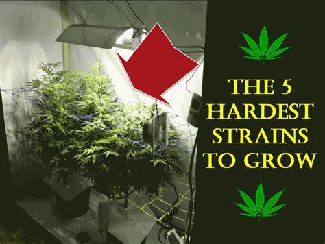 hardest plants to grow the 5 hardest cannabis strains to grow