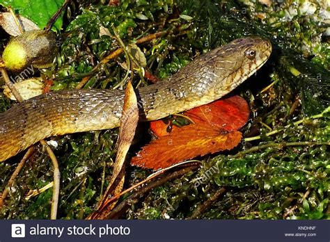 images of a water moccasin water moccasin stock photos water moccasin stock images