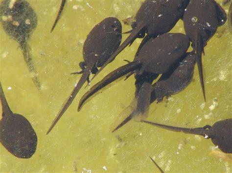 rana alimentazione alimentazione dei girini di rana