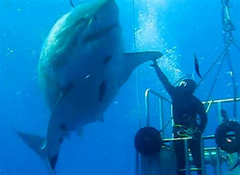 film blue mexico one of the largest great white sharks ever caught on camera