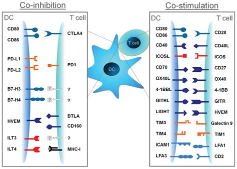 frontiers tolerogenic dendritic cells for frontiers the nature of activatory and tolerogenic