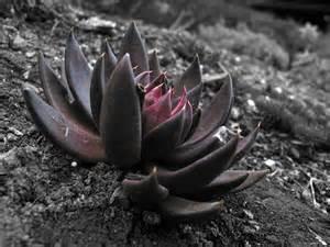 Back Lotus Black Lotus Dust Gloriously Ghoulish Gardening