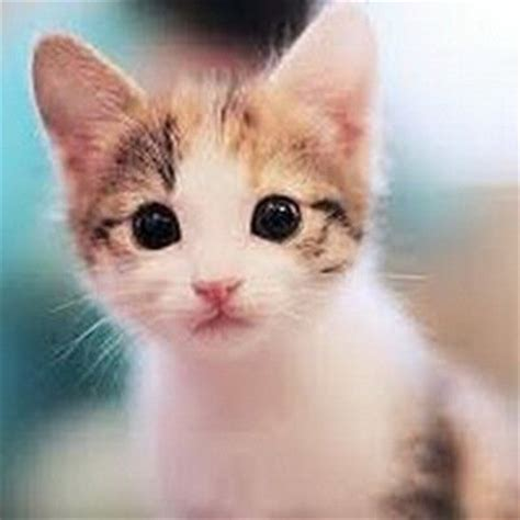 wallpaper kucing gambar kucing imut gambarkucing twitter