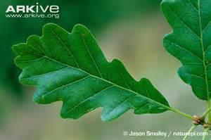 Sessile oak photo quercus petraea a12458 arkive