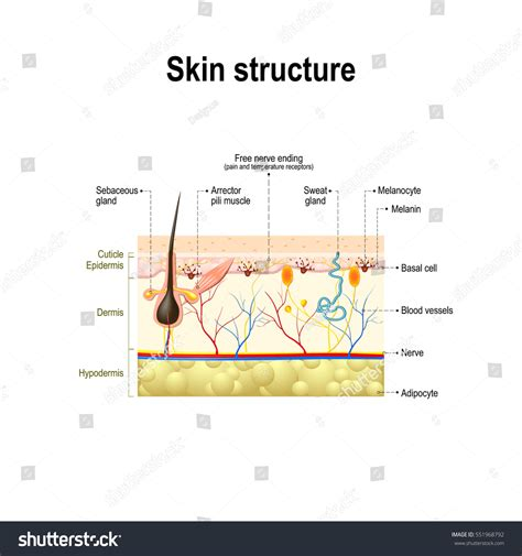 human skin hair structure anatomical sign stock vector 121646728 human skin hair structure cross section stock vector 551968792