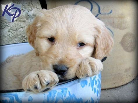 amish puppies for sale 58 best images about goldendoodle puppies on poodles amish family and