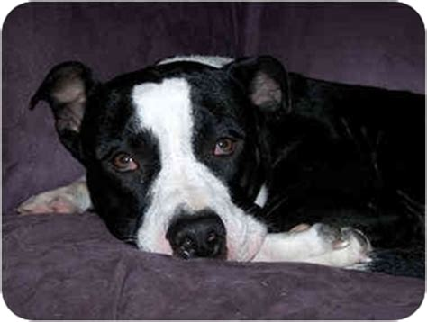 pitbull border collie mix puppies elsie adopted puppy vancouver wa american pit bull terrier border collie mix