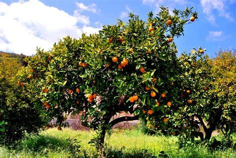 tree with small orange fruit orange trees small vavla rustic retreat angelos polis