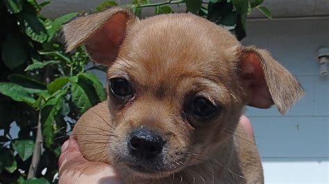puppies for sale in fredericksburg va 8 week chihuahua puppies for sale fredericksburg va