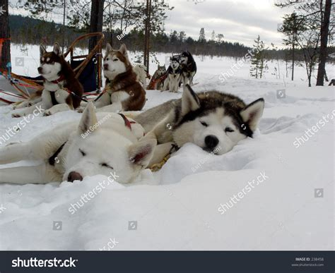 when do puppies start sleeping through the husky dogs sleeping in the snow stock photo 238458