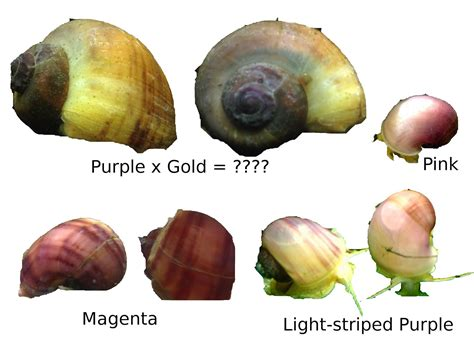 what color are snails sw rat tracks mystery snail colors